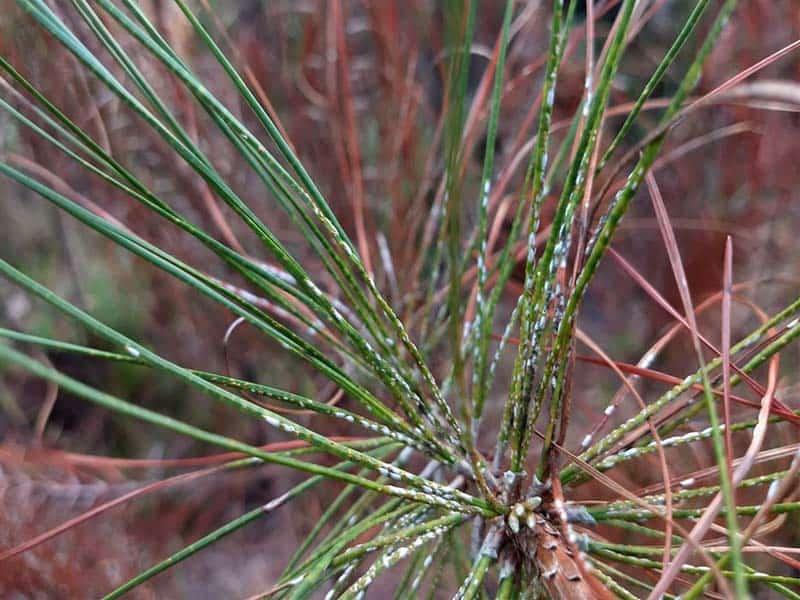 White Stuff On Pine Tree Needles