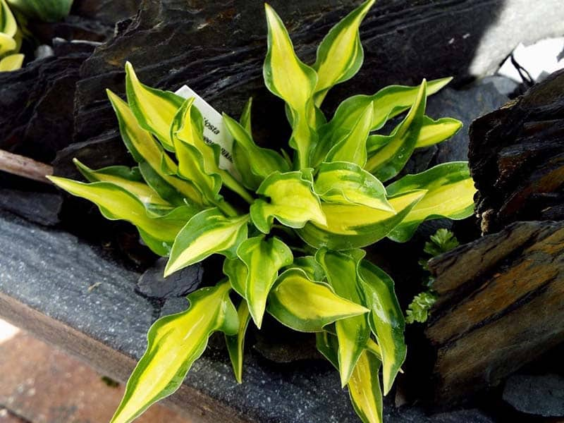 How far apart to plant hostas: All about hosta spacing - World of Garden Plants