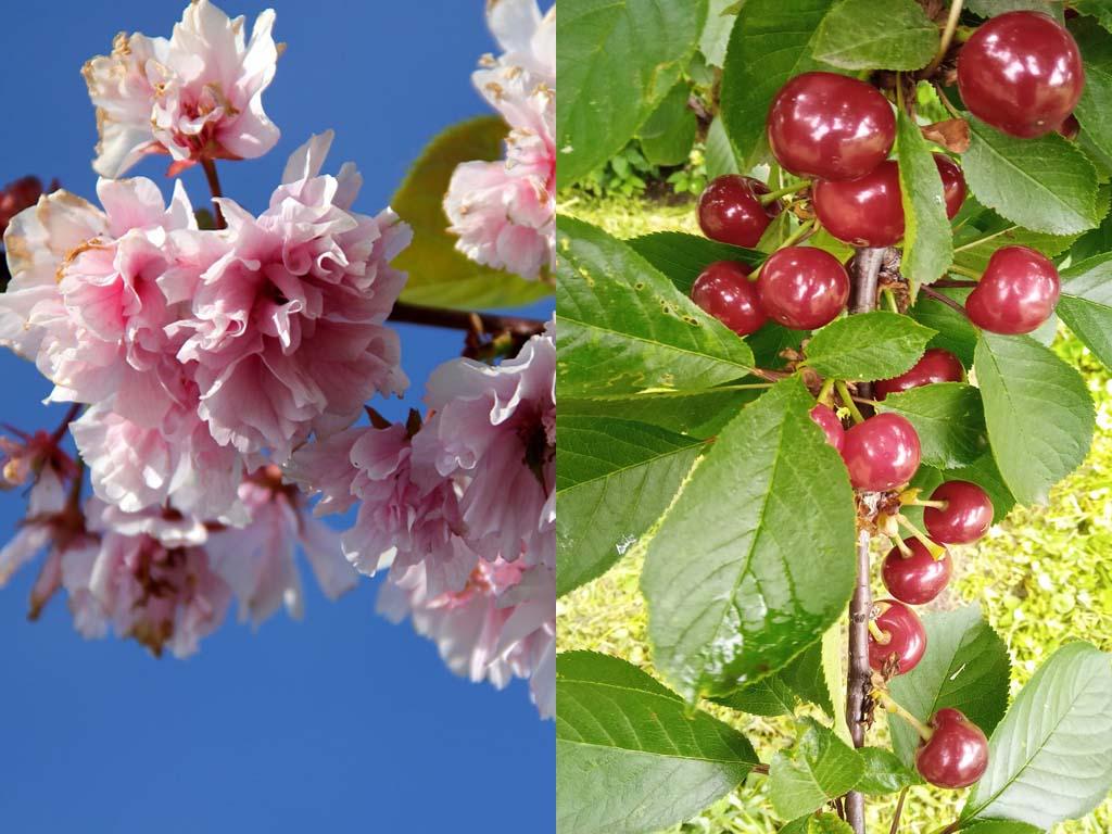 Cherry Blossom vs Cherry Tree
