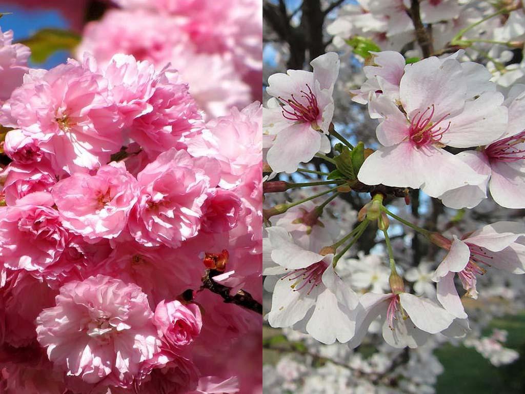 Kwanzan Cherry Tree vs Yoshino Cherry Tree