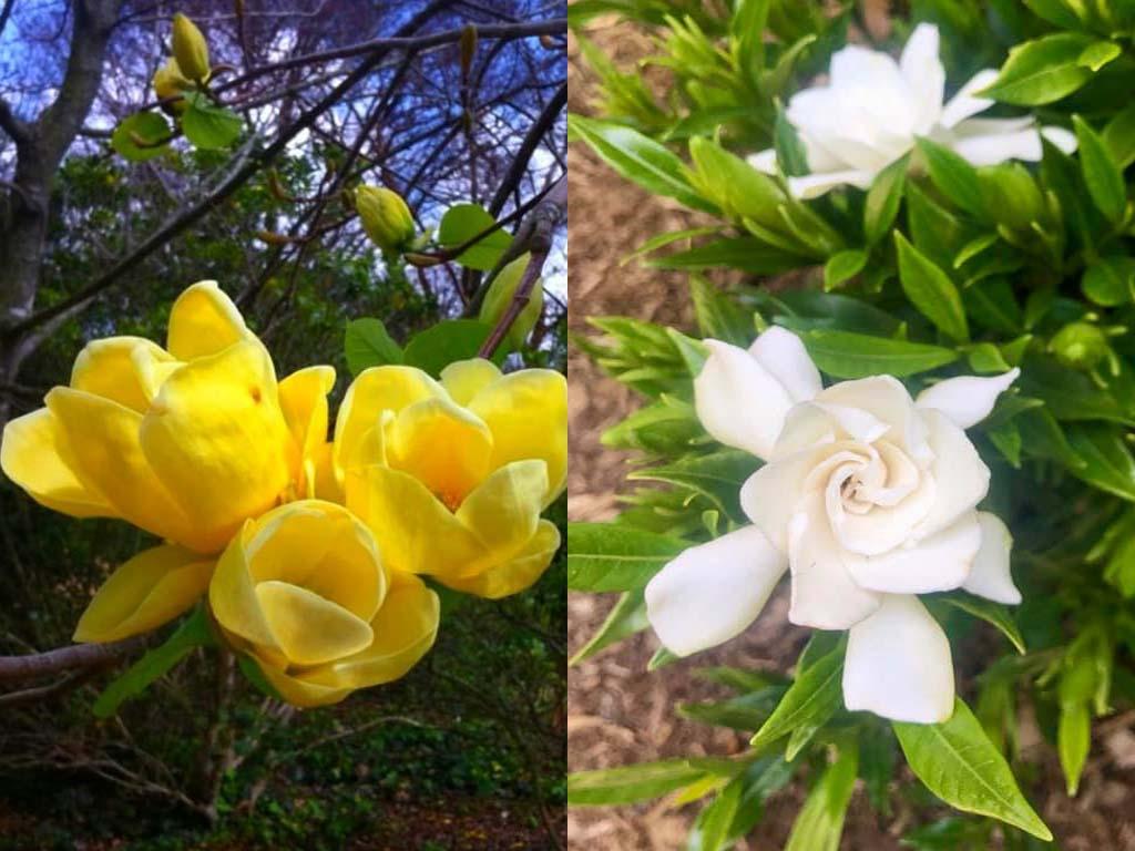 Magnolia vs Gardenia
