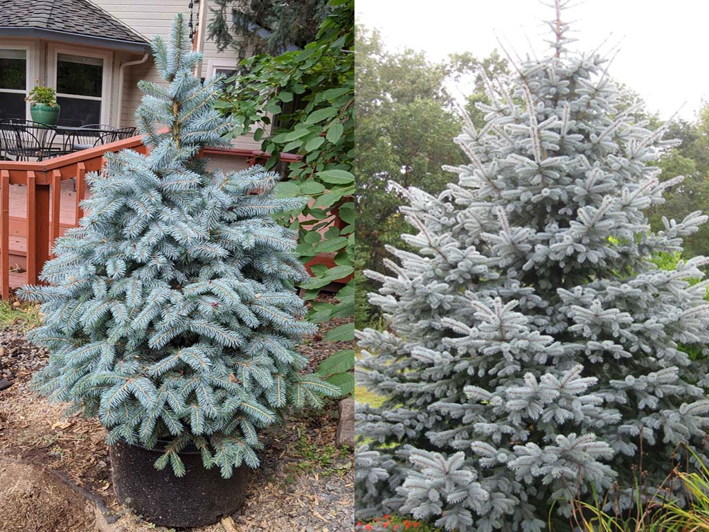 Baby Blue Spruce vs Fat Albert