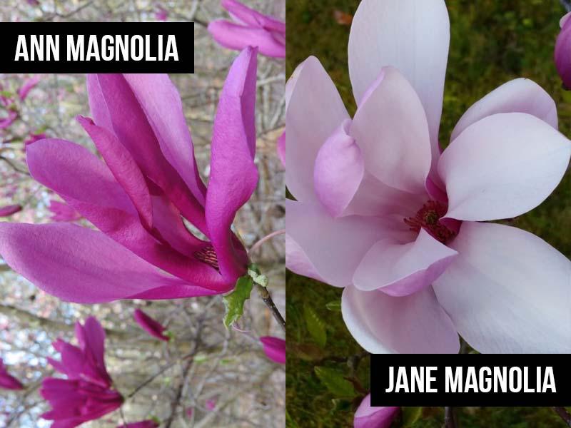 Ann Magnolia vs Jane Magnolia