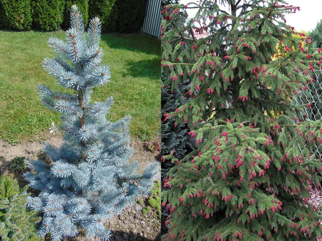 Blue Spruce vs Norway Spruce