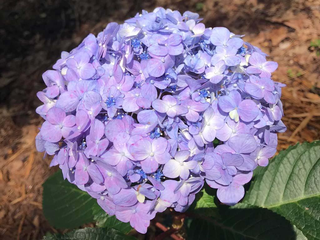 Nikko Blue Hydrangea vs Endless Summer Hydrangea