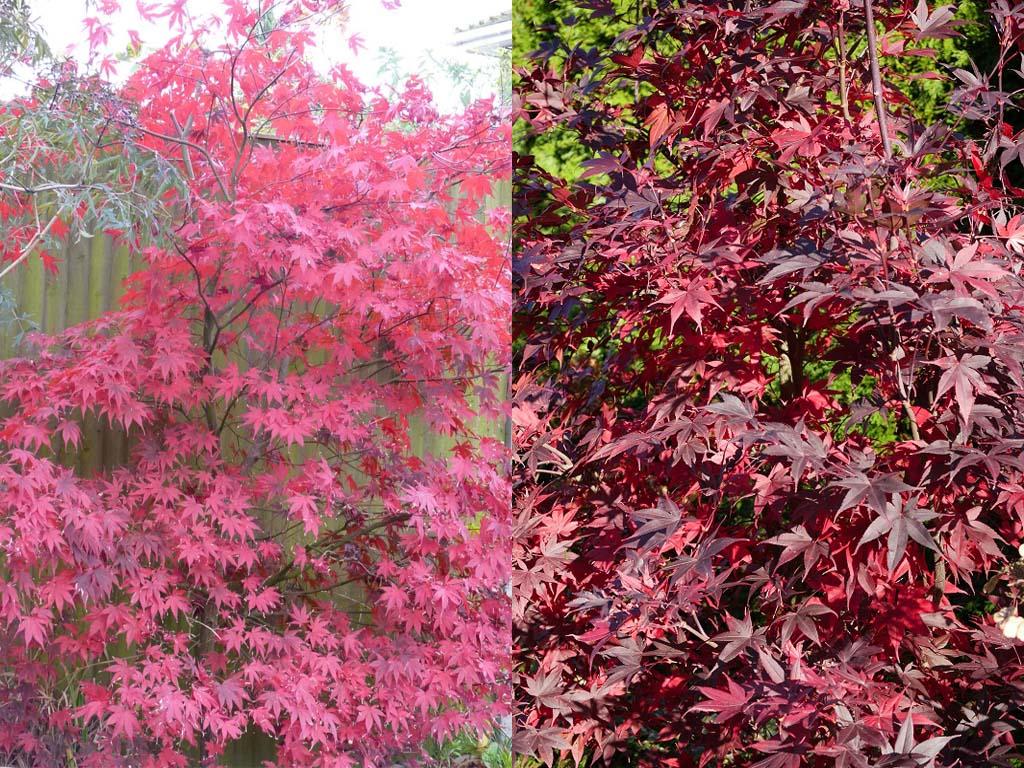 Fireglow Japanese Maple vs Bloodgood Japanese Maple