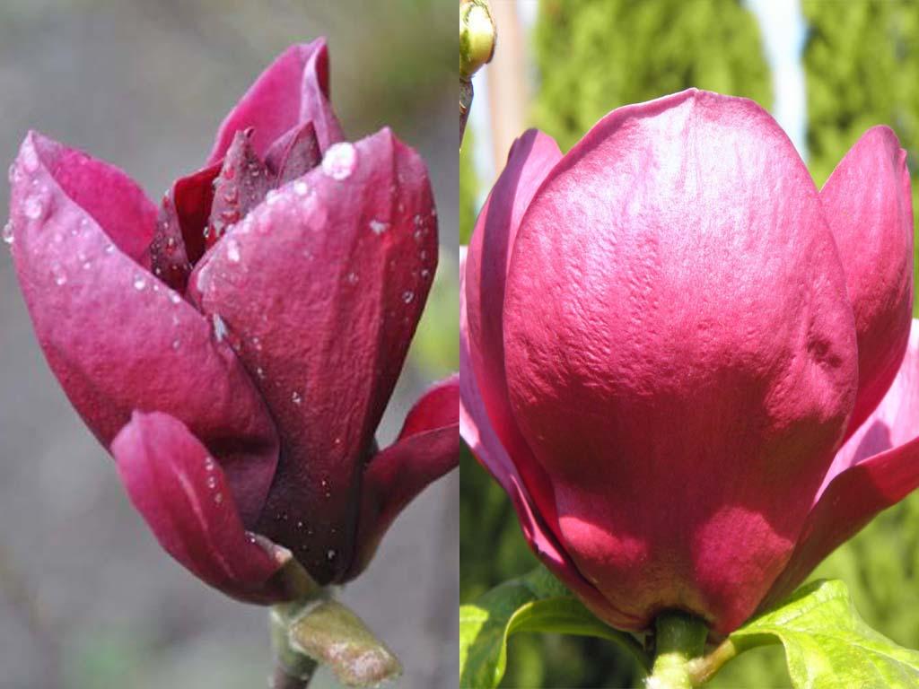 Magnolia Genie vs Black Tulip