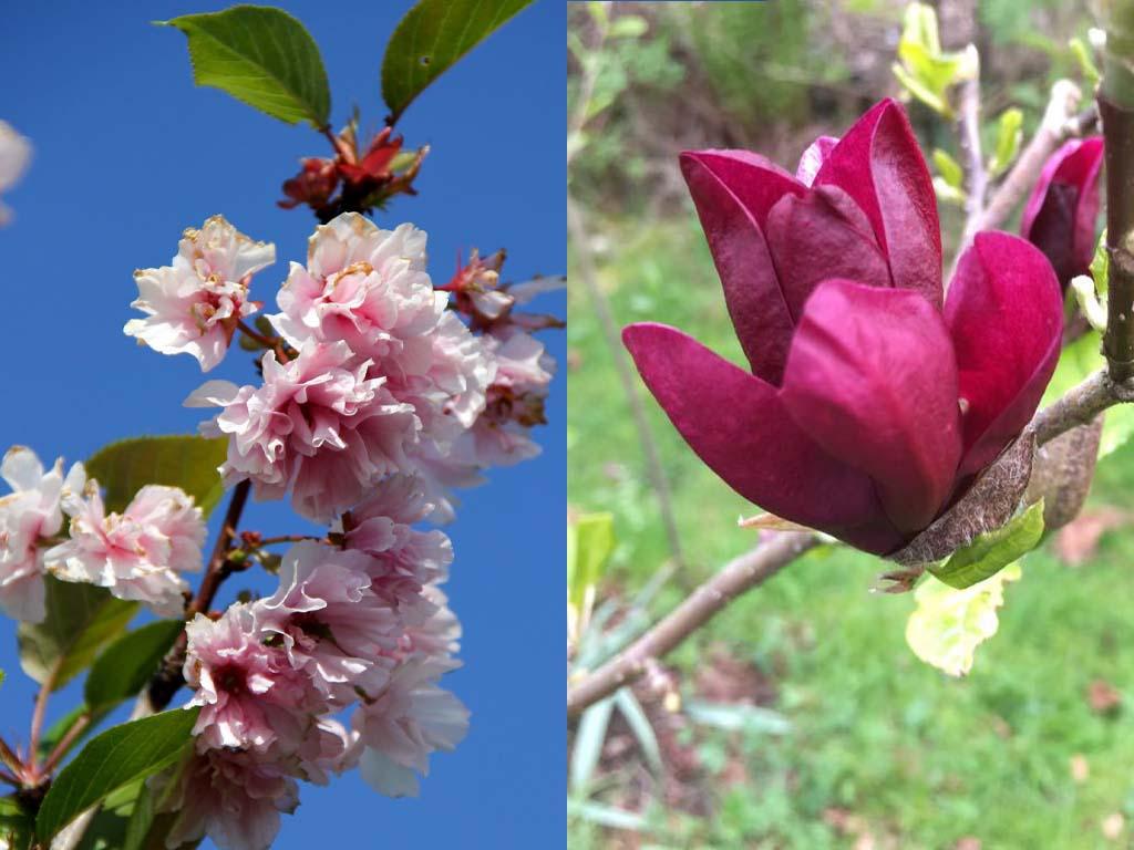 Magnolia Tree vs Cherry Blossom
