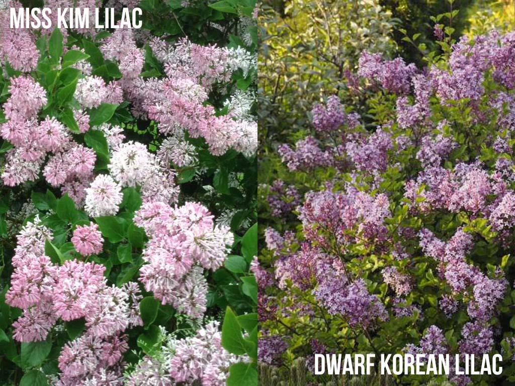 Miss Kim Lilac vs Dwarf Korean Lilac