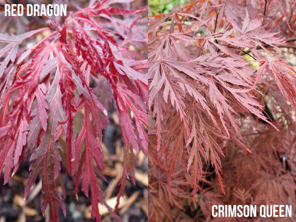 Japanese Maple Red Dragon vs Japanese Maple Crimson Queen