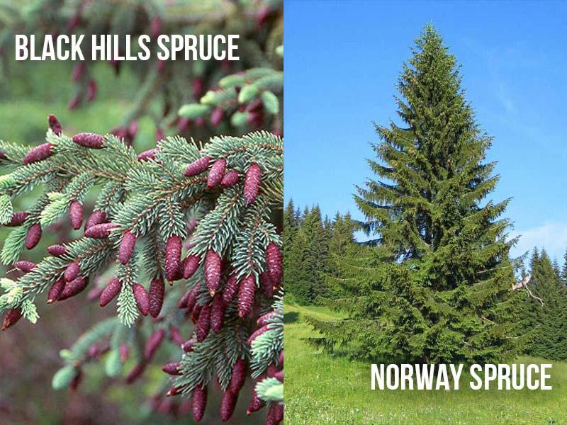 Black Hills Spruce vs Norway Spruce