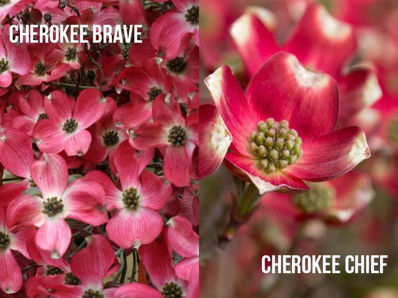 Cherokee Brave vs Cherokee Chief Dogwood