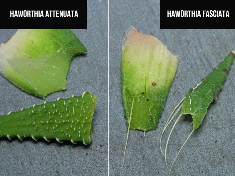 haworthia fasciata vs haworthia attenuata
