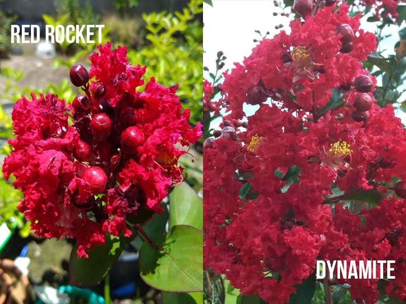 Red Rocket vs Dynamite Crape Myrtle