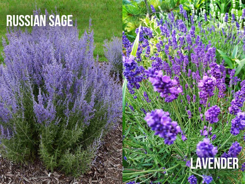 Russian Sage and Lavender