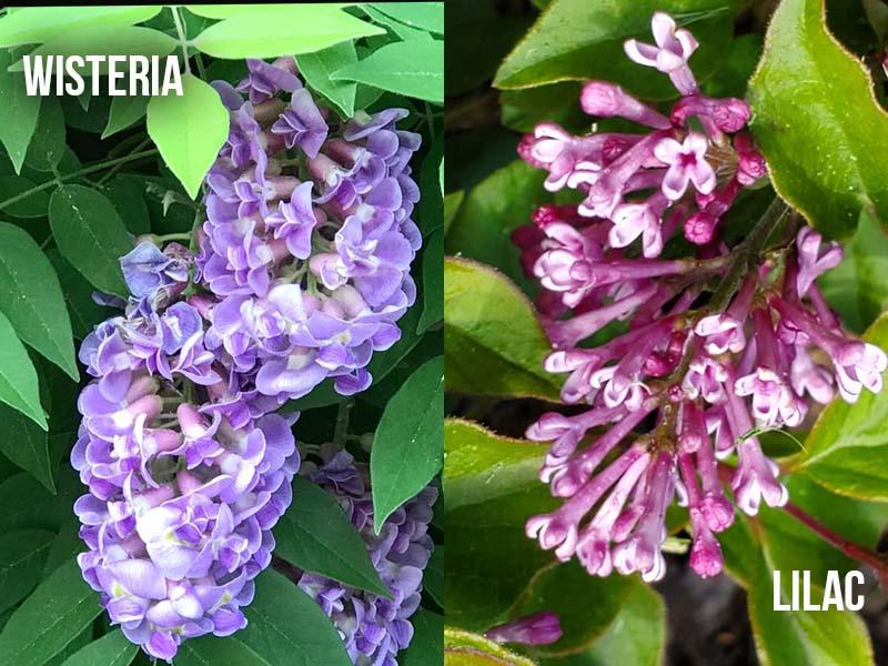 Wisteria vs Lilac