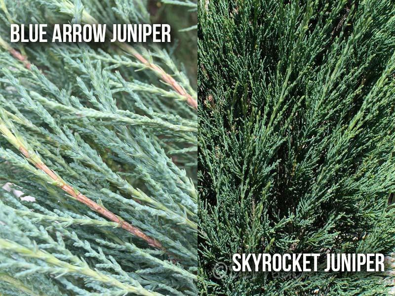 Blue Arrow Juniper vs Skyrocket Juniper