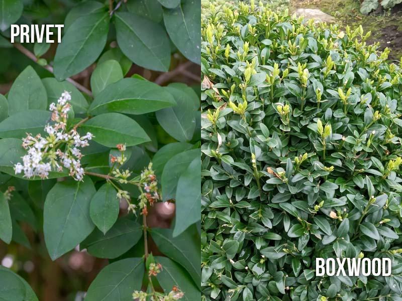 Privet vs Boxwood