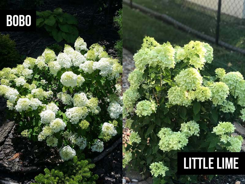 Bobo Hydrangea vs Little Lime
