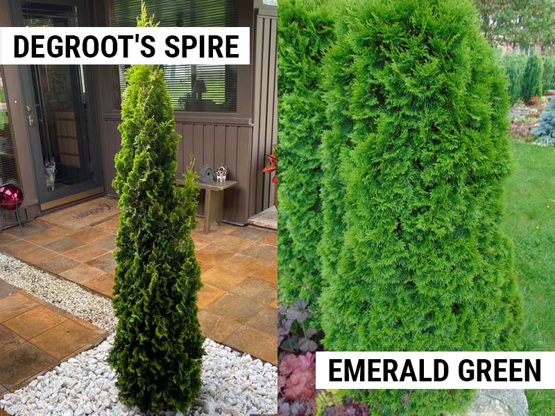 Degroots Spire vs Emerald Green Arborvitae