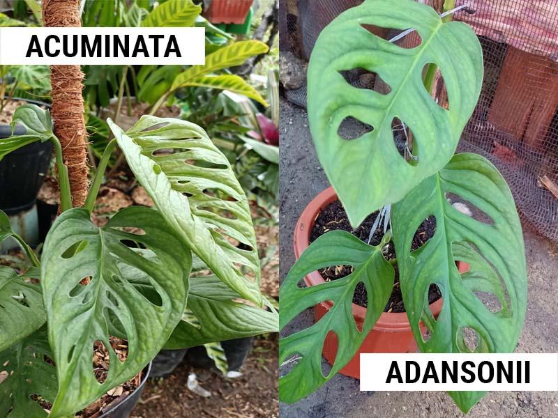 Monstera Acuminata vs Adansonii