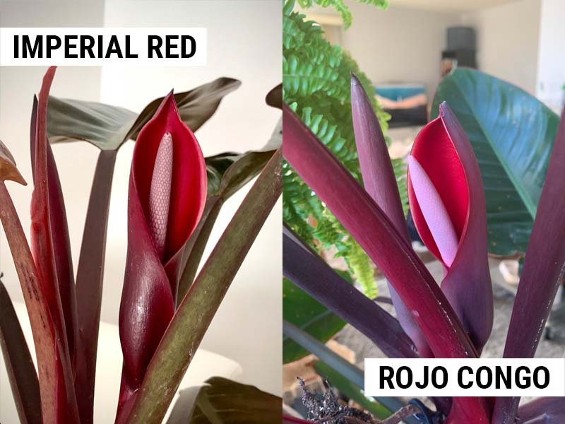 Philodendron Imperial Red and Philodendron Rojo Congo flowers