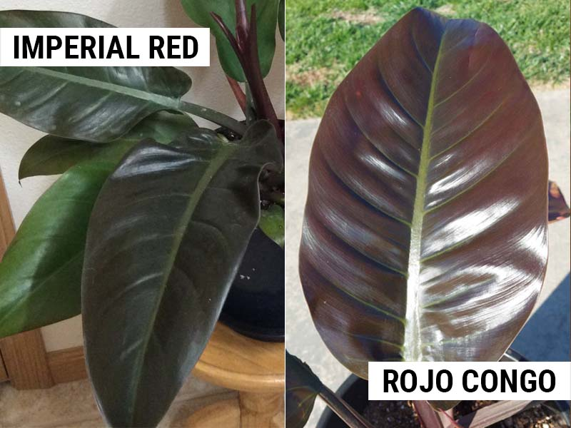 Philodendron Imperial Red and Philodendron Rojo Congo