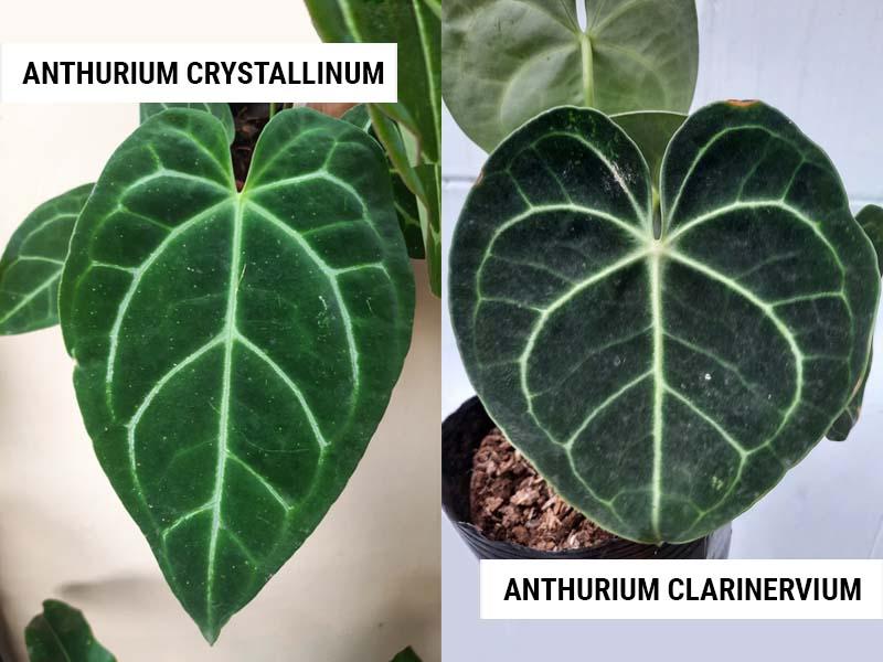 Anthurium crystallinum vs Anthurium clarinervium