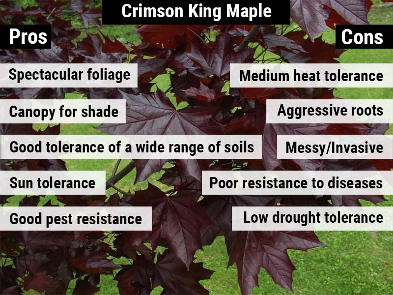 crimson-king-maple-pros-and-cons