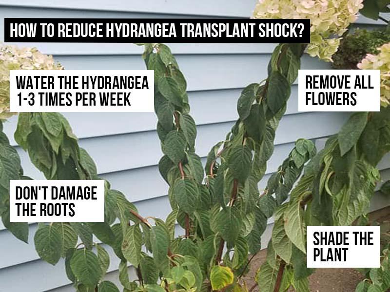 How to reduce hydrangea transplant shock