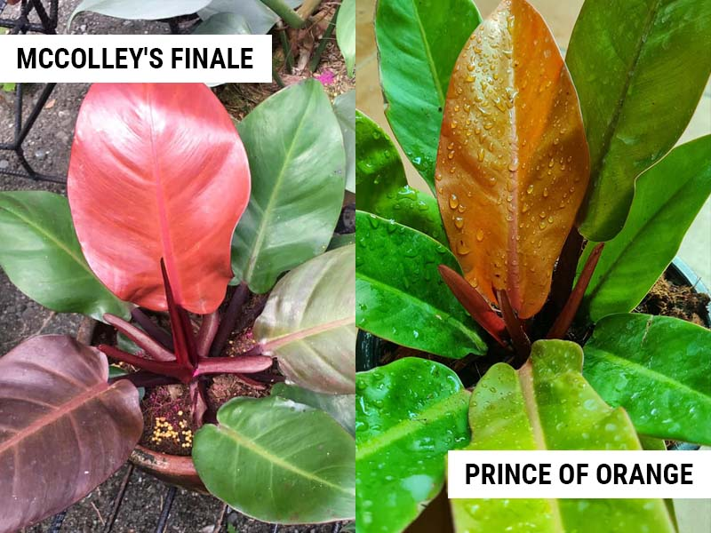 philodendron-mccolleys-finale-vs-prince-of-orange