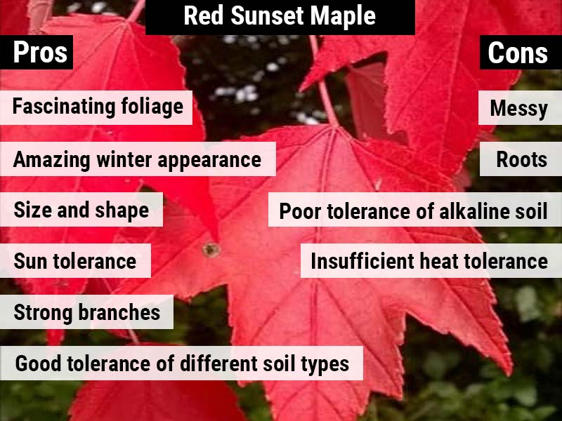 Red Sunset maple pros and cons