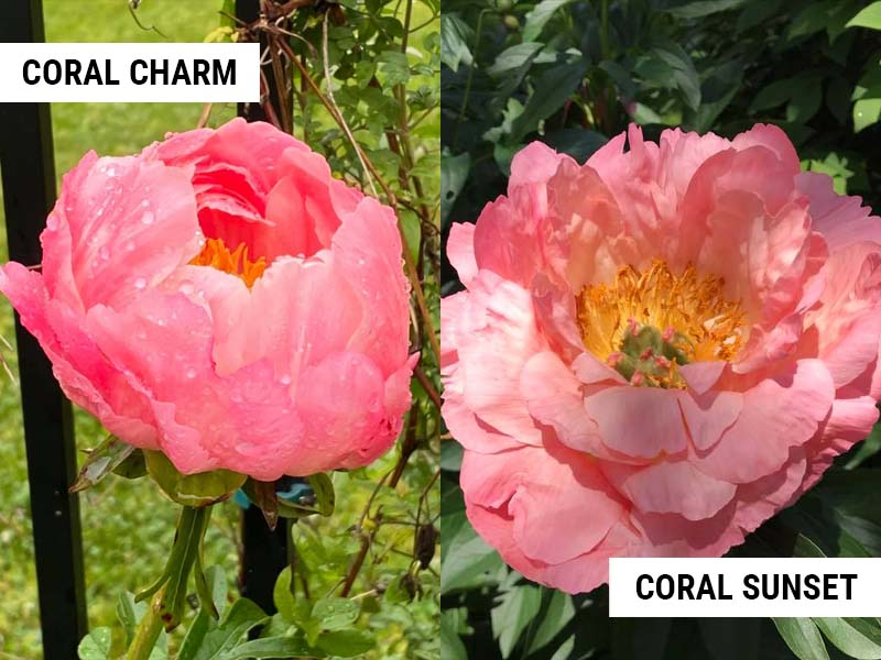 coral charm vs coral sunset peony