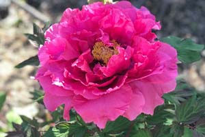 eternal-camellias-peony