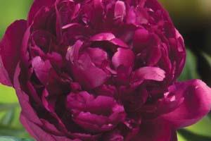 king-of-flowers-peony