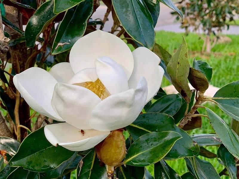 teddy bear magnolia vs little gem