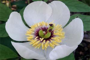 paeonia-japonica