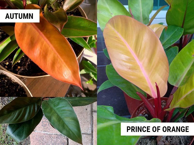 philodendron-autumn-vs-prince-of-orange