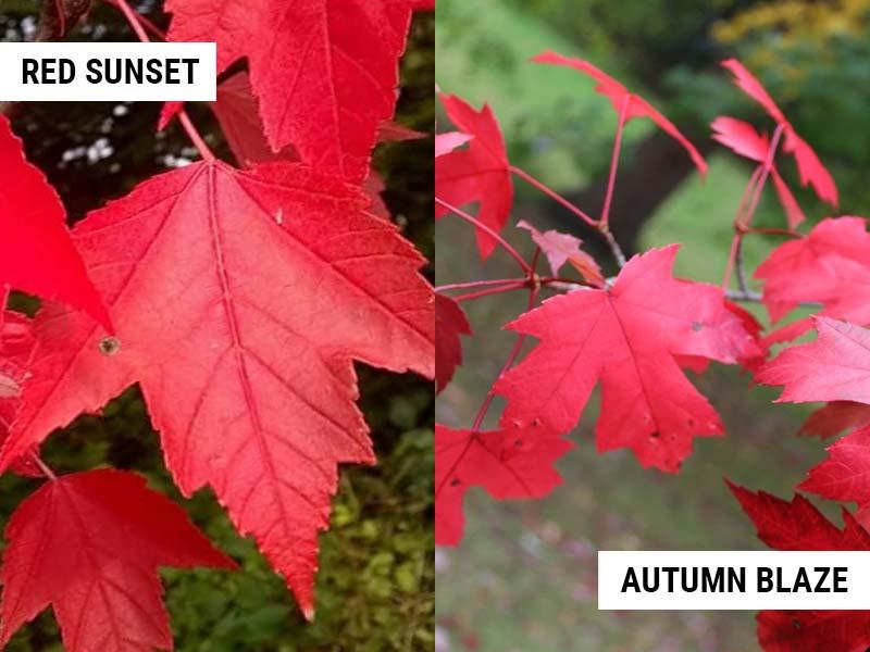 red-sunset-maple-vs-autumn-blaze