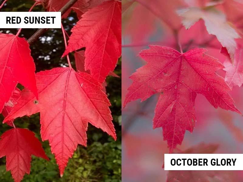 red-sunset-maple-vs-october-glory