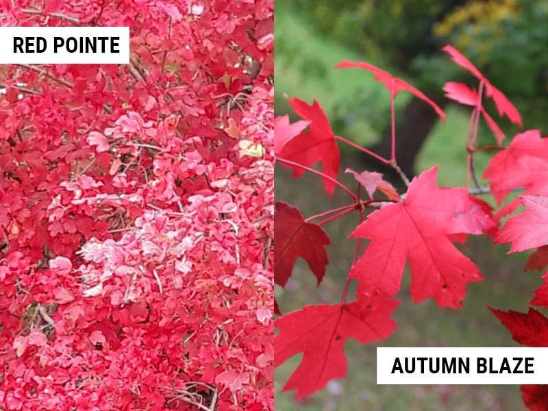 Redpointe Maple and Autumn Blaze Maple