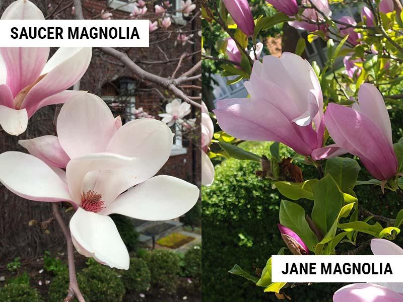 saucer magnolia vs jane magnolia