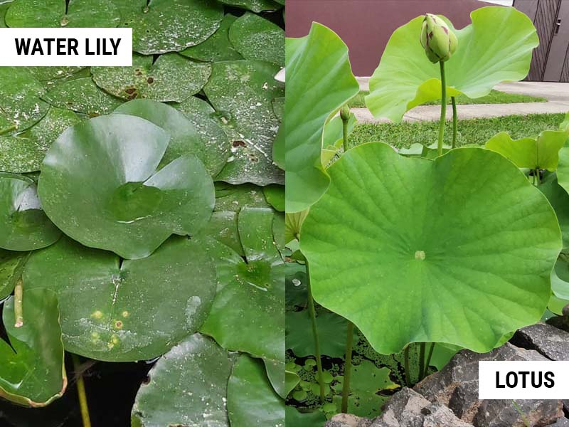 Water lily and Lotus leaves