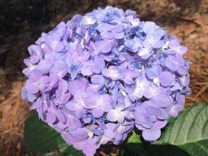 bloomstruck-hydrangea