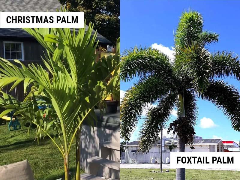 christmas-palm-vs-foxtail-palm
