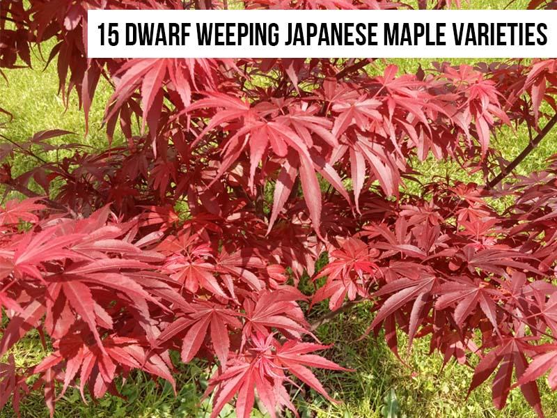 Dwarf Weeping Japanese Maple