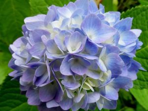 endless-summer-original-hydrangea