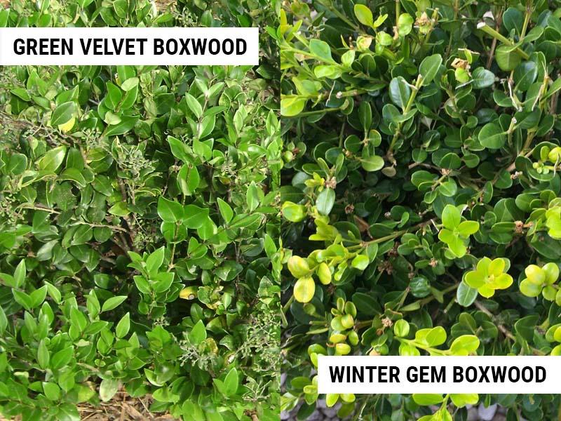 green-velvet-boxwood-vs-winter-gem