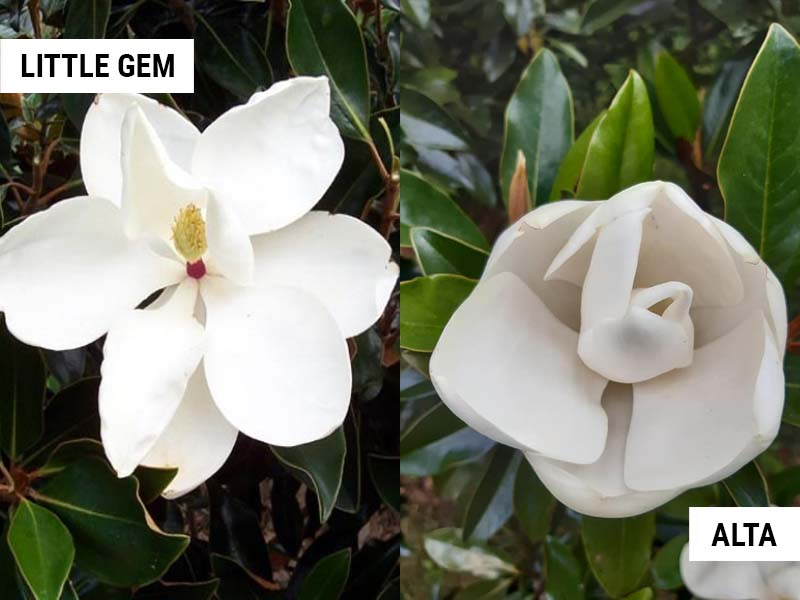 Little Gem Magnolia vs Alta Magnolia