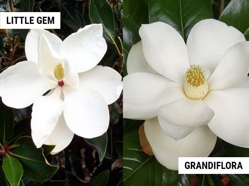 Little Gem Magnolia vs Magnolia grandiflora